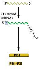 influenza-rna-2