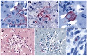 marburg-antigens-bat-tissues