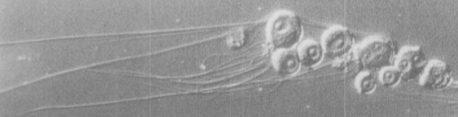 influenza-c-cords