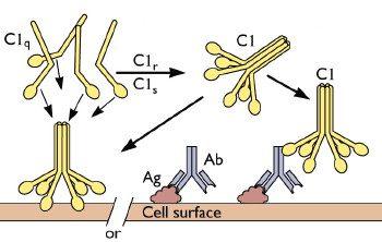 c1q-binding