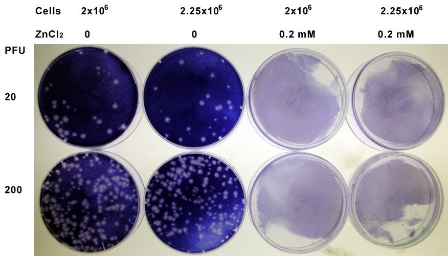 rhinovirus_zinc_3
