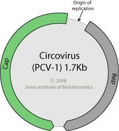 Circovirus genome