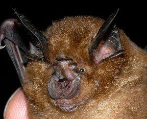 Rhinolophus sinicus