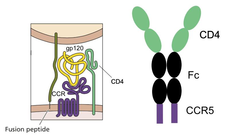 cd4 and ccr5 receptors
