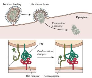 paramyxovirus fusion