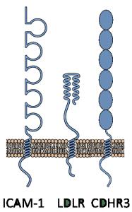 rhinovirus receptors