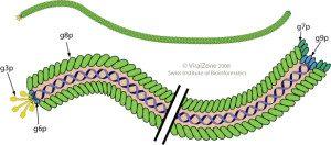 Inoviridae virion