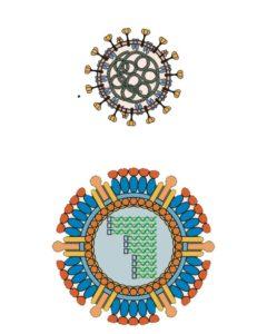 coronavirus and reovirus