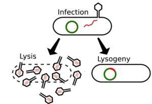 lysis or lysogeny