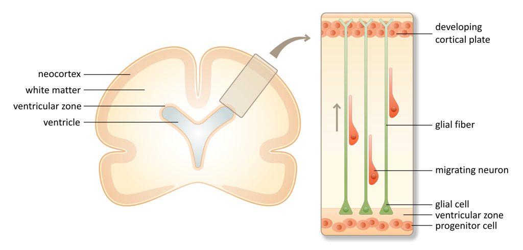 neuronal migration