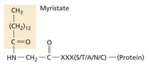 N-terminal myristoylation