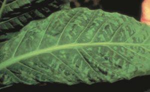 TMV-tobacco