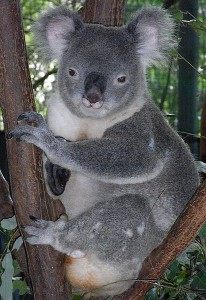 friendly-male-koala