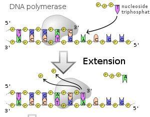 dna-polymerase-1