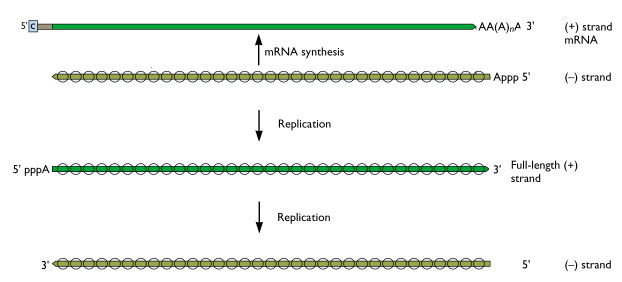 influenza-rna-synthesis