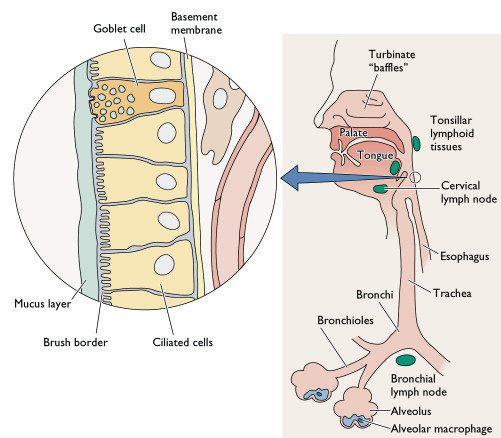 respiratory-tract1