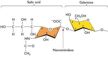 sialic-acid-2