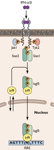 ifn-receptor