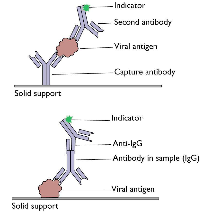 Detection Of Antigens Or Antibodies By ELISA