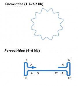 circovirus parvovirus genome