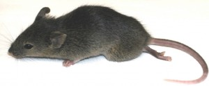 pvr transgenic mouse