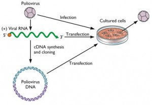 infectious poliovirus dna
