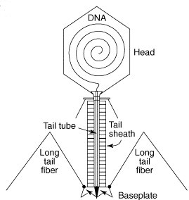 bacteriophage t4