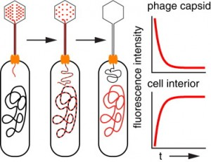 single phage infection