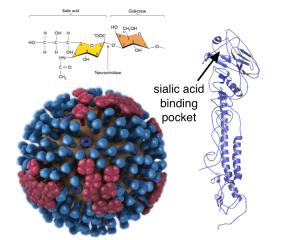HA receptor binding site