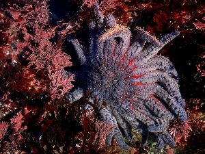 Sun flower sea star