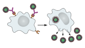 Antibody dependent enhancement