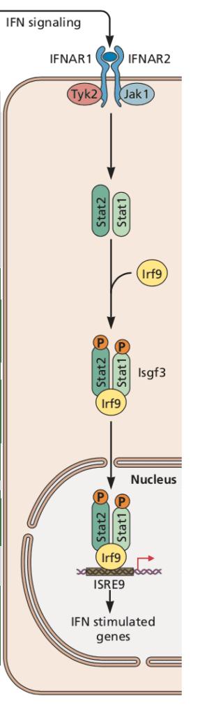 IFN signaling