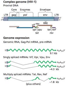 HIV-1 genome